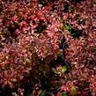 Dřišťál Thunbergův 'Pink Attraction' - Berberis thunbergii 'Pink Attraction'