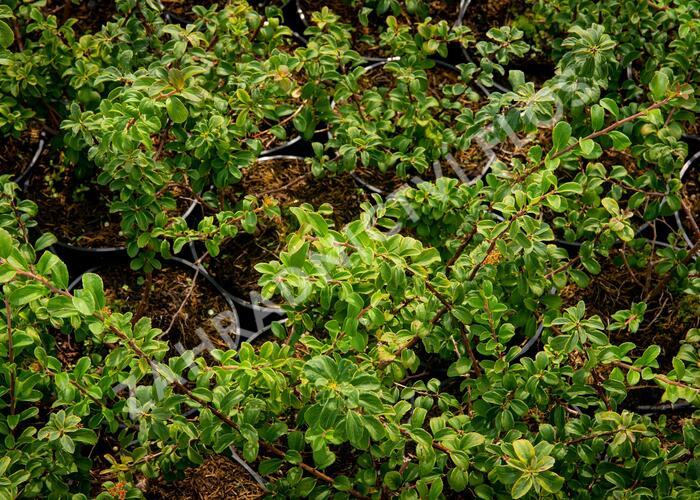 Tavolník nipponský 'White Carpet' - Spiraea nipponica 'White Carpet'