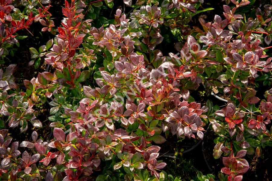 Dřišťál zimostrázový 'Red Jewel' - Berberis media 'Red Jewel'