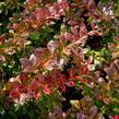 Dřišťál zimostrázový 'Red Jewel' - Berberis media 'Red Jewel'