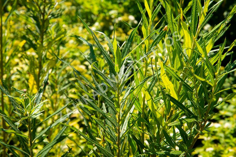 Vrba trojmužná - Salix triandra