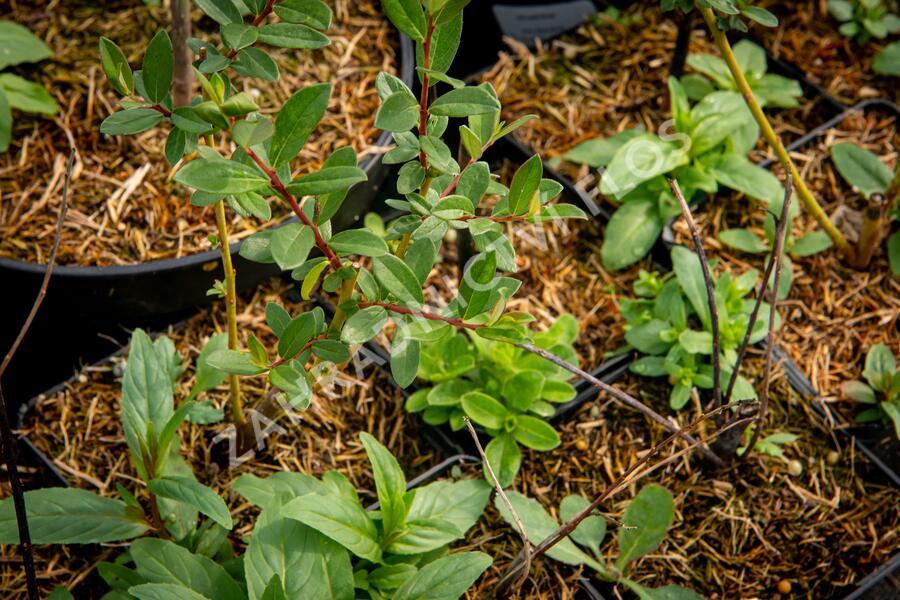 Vrba plazivá - Salix repens