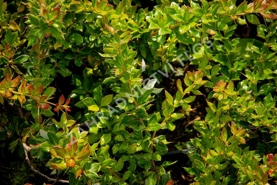 Dřišťál bradavičnatý - Berberis verruculosa