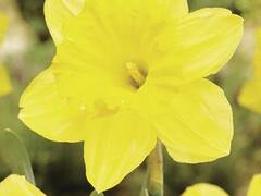 Narcis velkokorunný 'Gigantic Star' - Narcissus Large Cupped 'Gigantic Star'