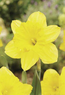 Narcis velkokorunný 'Gigantic Star' - Narcissus Large Cupped 'Gigantic Star'