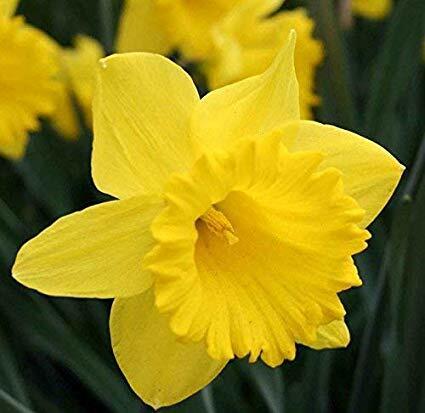 Narcis trubkovitý 'Dutch Master' - Narcissus Trumpet 'Dutch Master'