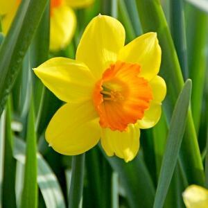Narcis velkokorunný 'Mix' - Narcissus Large Cupped 'Mix'