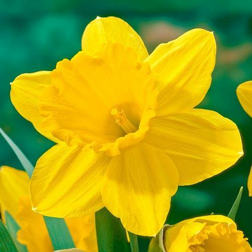 Narcis velkokorunný 'Carlton' - Narcissus Large Cupped 'Carlton'