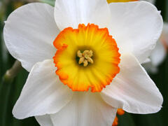 Narcis velkokorunný 'Pyjama Party' - Narcissus Large Cupped 'Pyjama Party'