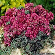 Rozchodník SunSparkler® 'Dazzleberry' - Sedum hybridum SunSparkler® 'Dazzleberry'