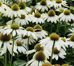 Třapatka nachová 'Papallo Compact White' - Echinacea purpurea 'Papallo Compact White'