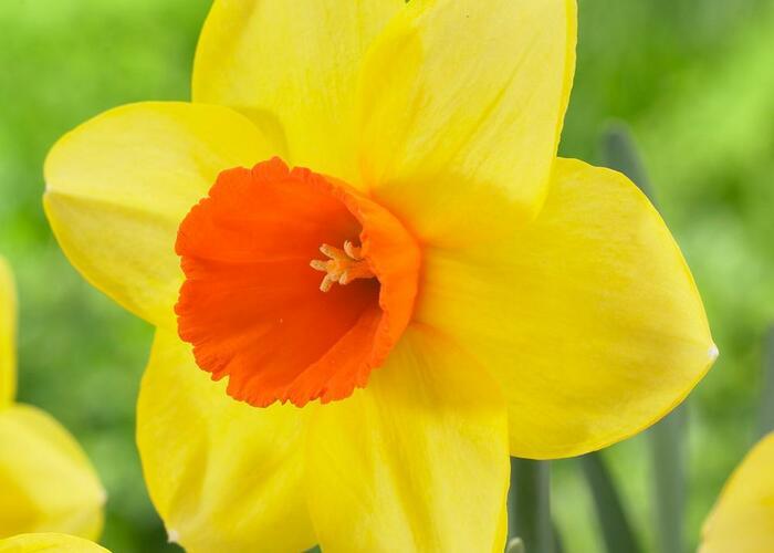 Narcis velkokorunný 'Red Devon' - Narcissus Large Cupped 'Red Devon'