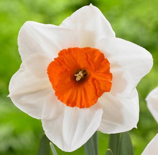 Narcis velkokorunný 'Professor Einstein' - Narcissus Large Cupped 'Professor Einstein'
