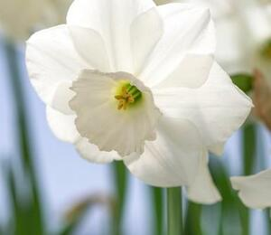 Narcis velkokorunný 'Stainless' - Narcissus Large Cupped 'Stainless'