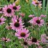 Třapatka tenneesi - Echinacea tennesseensis