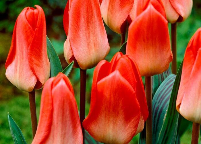 Tulipán Greigův 'Sweet Lady' - Tulipa 'Greigii Sweet Lady'