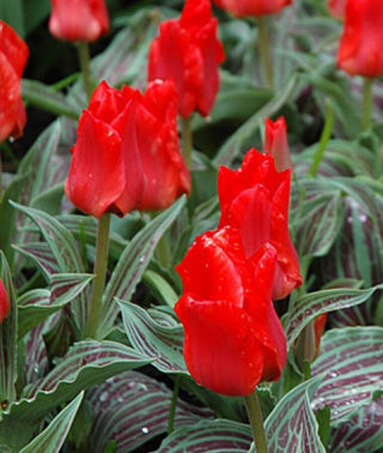 Tulipán Greigův 'Red Riding Hood' - Tulipa Greigii 'Red Riding Hood'