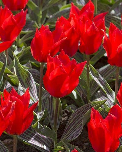 Tulipán Greigův 'Ali Baba' - Tulipa Greigii 'Ali Baba'