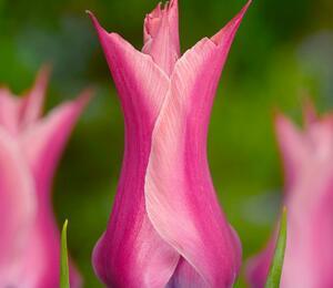Tulipán liliovitý 'Yonina' - Tulipa Lily Flowering 'Yonina'