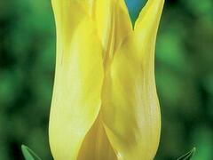 Tulipán liliovitý 'Moonshine' - Tulipa Lily Flowering 'Moonshine'