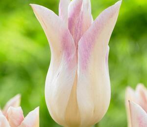 Tulipán liliovitý 'Elegant Lady' - Tulipa Lily Flowering 'Elegant Lady'