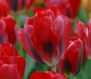 Tulipán zelenokvětý 'Pimpernel' - Tulipa Viridiflora 'Pimpernel'