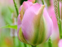 Tulipán zelenokvětý 'Greenland' - Tulipa Viridiflora 'Greenland'