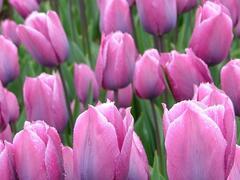 Tulipán Triumph 'Violet Beauty'® - Tulipa Triumph 'Violet Beauty'®