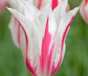 Tulipán liliovitý 'Marilyn' - Tulipa Lily Flowering 'Marilyn'