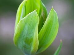 Tulipán zelenokvětý 'Evergreen' - Tulipa Viridiflora 'Evergreen'