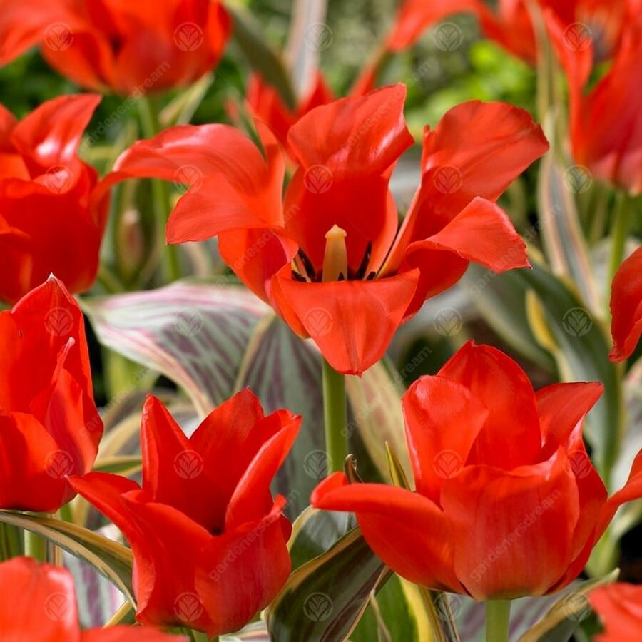 Tulipán Greigův 'Fire of Love'® - Tulipa Greigii 'Fire of Love'®
