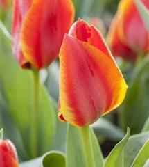 Tulipán Greigův 'Diantha' - Tulipa Greigii 'Diantha'