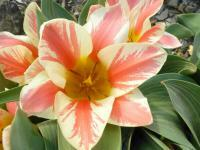 Tulipán Greigův 'Czaar Peter' - Tulipa Greigii 'Czaar Peter'