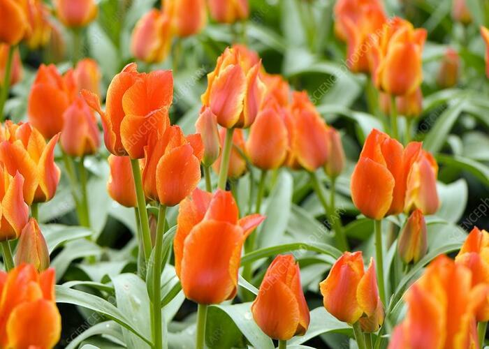 Tulipán Greigův  'Compostella' - Tulipa Greigii 'Compostella'