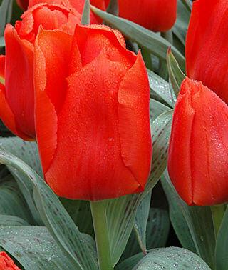 Tulipán Greigův 'Giant Orange Sunrise' - Tulipa Greigii 'Giant Orange Sunrise'