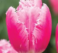Tulipán třepenitý 'Family' - Tulipa Fringed 'Family'