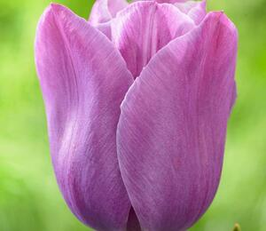 Tulipán jednoduchý pozdní  'Violet Beauty'® - Tulipa Single Late 'Violet Beauty'®