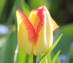 Tulipán raný 'Cape Town' - Tulipa Single Early 'Cape Town'