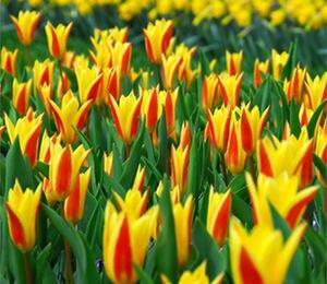 Tulipán Kaufmannův 'Giuseppe Verdi' - Tulipa Kaufmanniana 'Giuseppe Verdi'