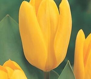Tulipán Fosterův 'Yellow Emperor' - Tulipa Fosteriana 'Yellow Emperor'