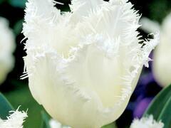Tulipán třepenitý 'Daytona' - Tulipa Fringed 'Daytona'
