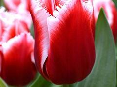 Tulipán třepenitý 'Canasta' - Tulipa Fringed 'Canasta'