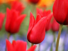 Tulipán liliovitý 'Red Shine' - Tulipa Lily Flowering 'Red Shine'