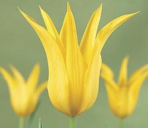 Tulipán liliovitý 'West Point' - Tulipa Lily Flowering 'West Point'