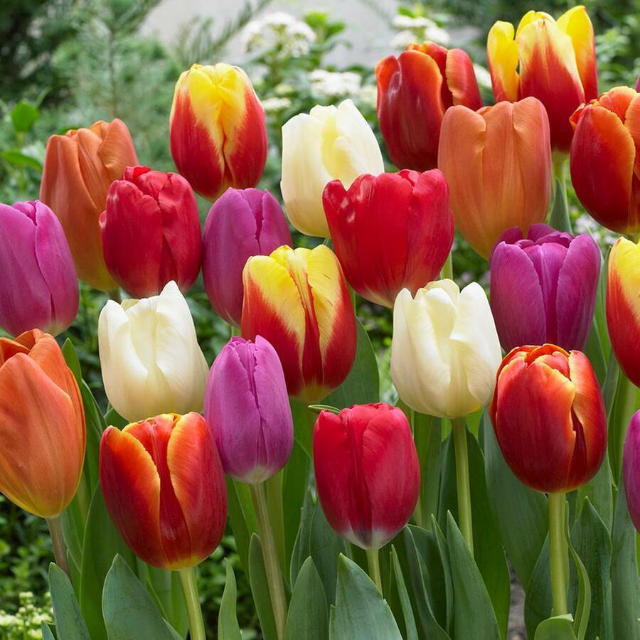 Tulipán raný  'Mix' - Tulipa Triumph 'Mix'