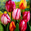 Tulipán Triumph 'Flaming Beauty Mix' - Tulipa Triumph 'Flaming Beauty Mix'