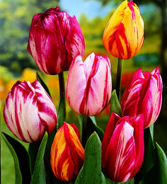 Tulipán Triumph 'Flaming Beauty Mix' - Tulipa Triumph 'Flaming Beauty Mix'