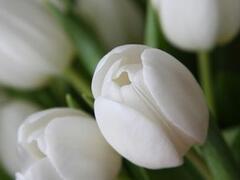 Tulipán Triumph 'Wildhof' - Tulipa Triumph 'Wildhof'