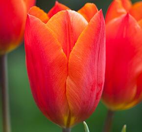 Tulipán Triumph 'Veronique Sanson' - Tulipa Triumph 'Veronique Sanson'