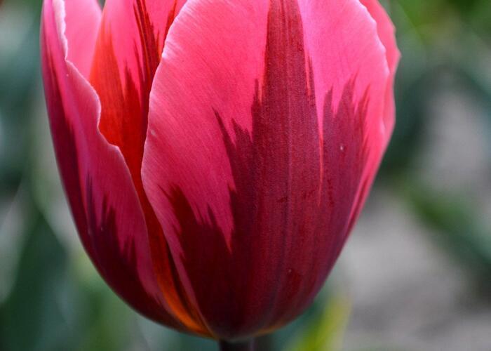 Tulipán Triumph  'Pretty Princess' - Tulipa Triumph 'Pretty Princess'
